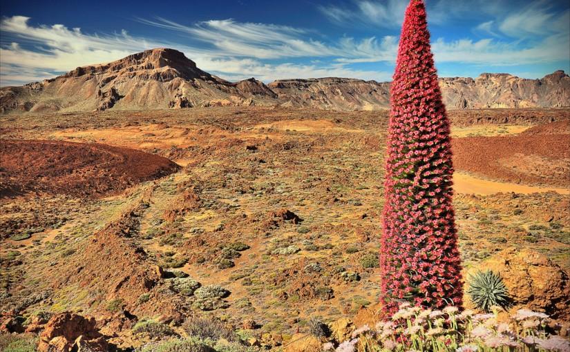 Tajinaste rojo en el Teide, Tenerife