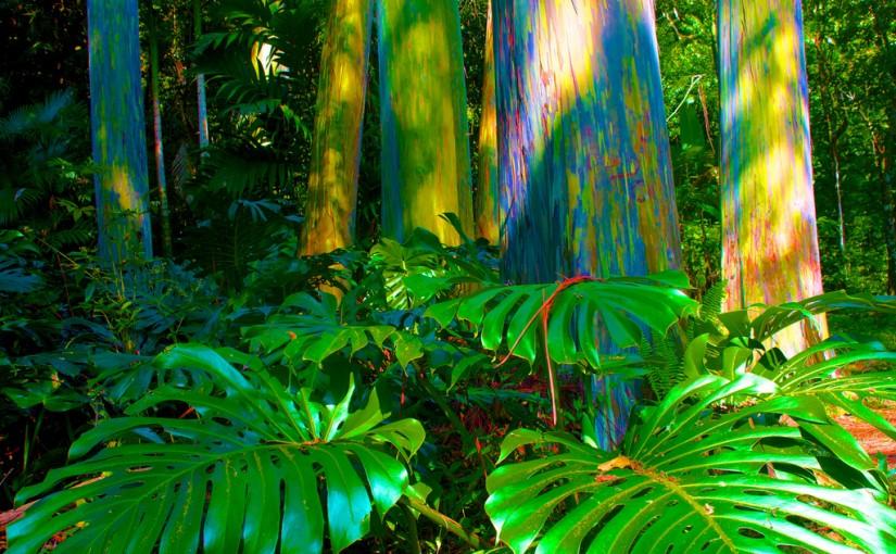 Eucalipto arcoíris, natural de Papúa Nueva Guinea, Indonesia y Filipinas
